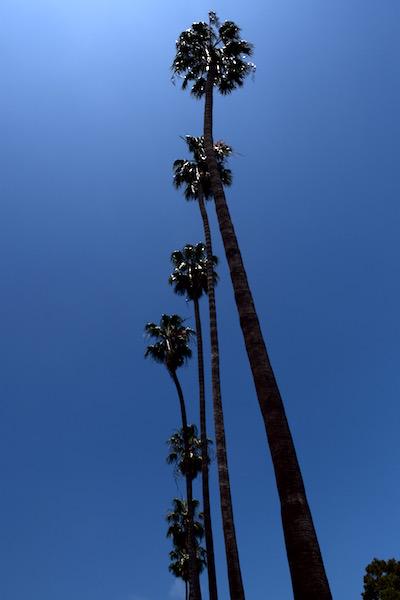 Santa Barbara Palme
