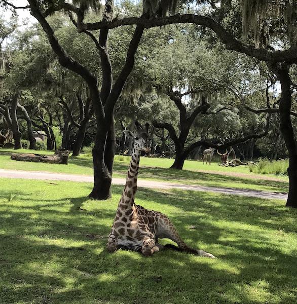 Animal Kingdom Giraffa